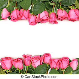 Lined up Pink Roses on White