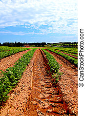 Lines of green vegetables in a farm field. - Lines of green...