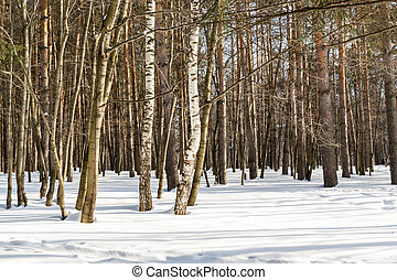 Lines of Winter Tree Trunks in a Park in White Snow