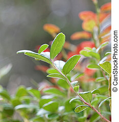 lingon, closeup, grün, zweig, berriy