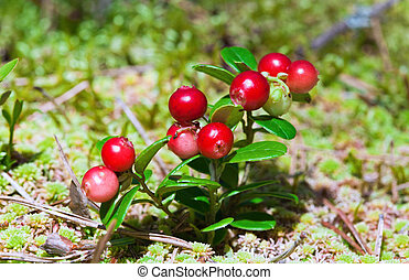 lingonberry, 灌木, 由于, 漿果