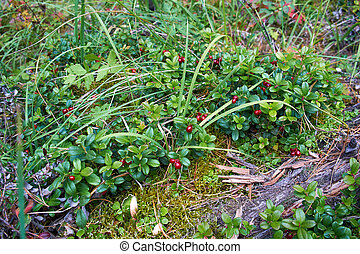 Lingonberry berries in the forest