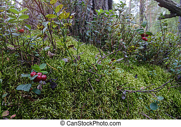 lingonberry berry in the forest