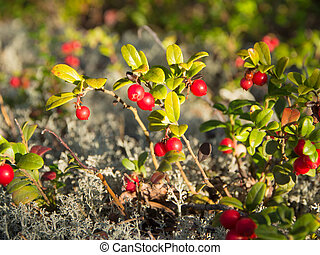 lingonberry in the forest
