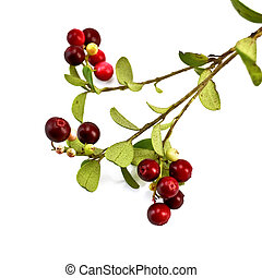 Lingonberry on a branch