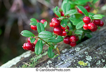 Lingonberry shrub with berries closeup