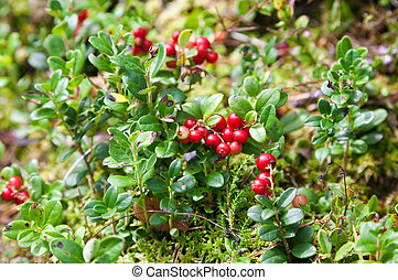 Lingonberry shrub with berries