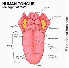lingua, umano, struttura, cartone animato