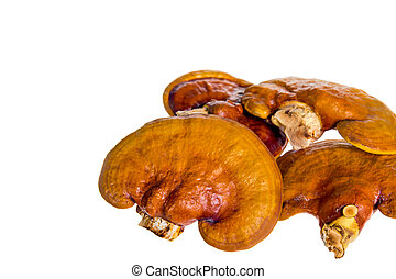 Lingzhi, Ganoderma lucidum isolated on white. Chinese ...