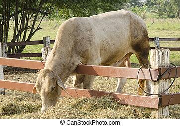Draht, altes , rindfleisch, zaun, ranch, auf, widerhaken, australia ...