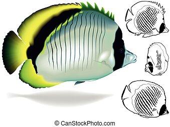 liniowany, komplet, butterflyfish