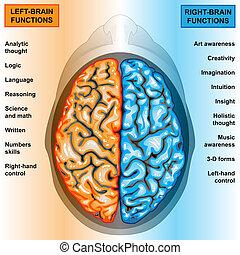 links, gehirn, recht, menschliche , funktion