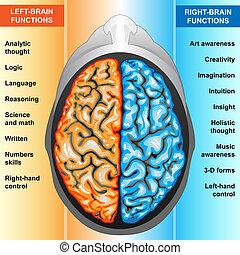 links, hersenen, rechts, menselijk, functie