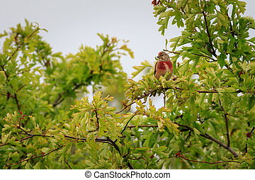 linnet (Carduelis cannabina) perched in a bush