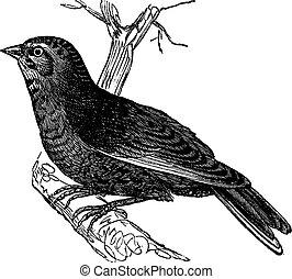 Linnet (Carduelis cannabina, vintage engraving