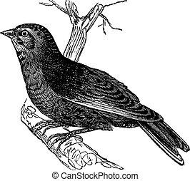 Linnet (Carduelis cannabina, vintage engraving - Linnet...