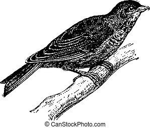 Linnet or Carduelis cannabina, vintage engraving