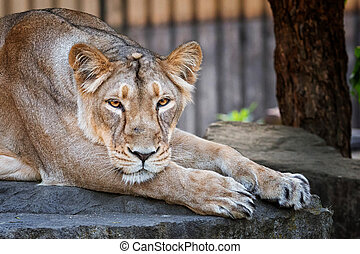 Lion female relaxing on the stone and think about spoil