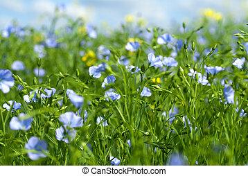 lino, flores