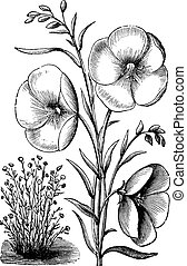 Linum grandiflorum or Red flax or scarlet flax or crimson flax vintage engraved illustration. Trousset encyclopedia (1886 - 1891).