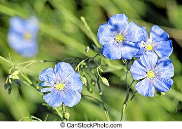 Linum (Linum austriacum)