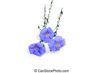 Linum usitatissimum flowers - Linum usitatissimum beautiful ...
