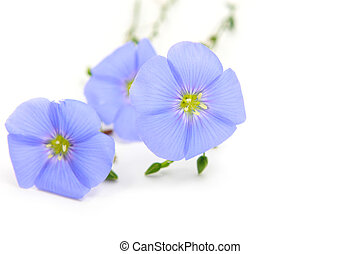 Linum usitatissimum L. - flowers of Linum (flax) on white ...