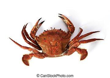 Lio carcinus puber crab isolated on white