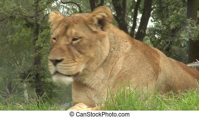 lion 01 - Close up of a lion