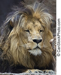 Lion, a portrait in the wild