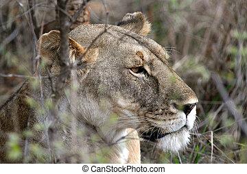 Lion - Africa - Lion - Tarangire National Park - Wildlife...