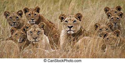 lion africain