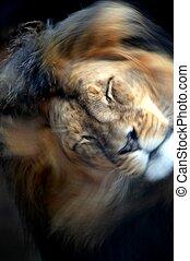 lion, africaine