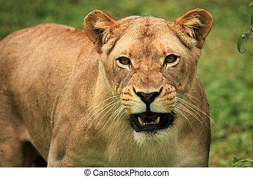 Lion - African Wildlife - Lion - Wildlife in Uganda, Africa