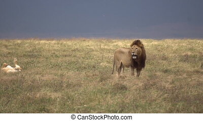 Lion aka Panthera Leo Observes Surroundings in Meadow of African Savanna, 120fps Slow Motion
