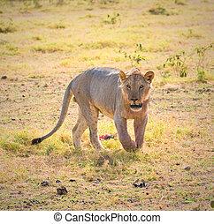 lion, amboseli, kenya - lion, amboseli national park, kenya