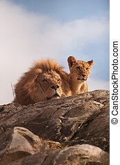 Lion and cub on a rocky top facing camera
