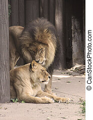 Truly the King of Beasts, this adult male lion is a magnificent sight and yet this beast has a softer side as he shows his softer side with his lioness partner.