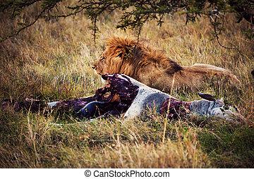Lion and his prey on savanna, Serengeti, Africa - Big male...