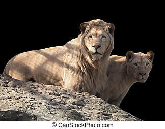 Lion and lioness couple of lovers at the top of mountain isolated at black
