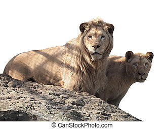 Lion and lioness couple of lovers at the top of mountain isolated at white