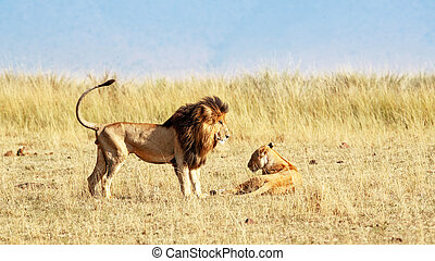 Lion and Lioness Looking at Each Other in Africa