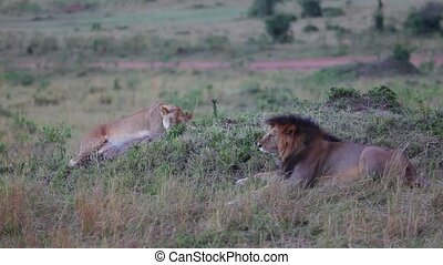 Lion and lioness resting in savanna