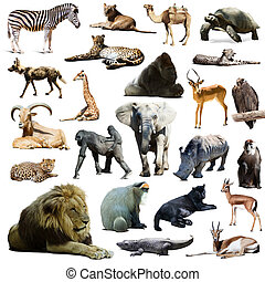 lion  and other African animals. Isolated over white