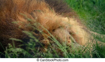 Lion Asleep In Long Grass Closeup