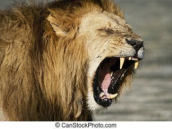 Lion baring fangs, focus on head - Africa, Kenya, lion ...