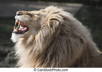 Lion baring teeth - Male lion baring its large teeth.
