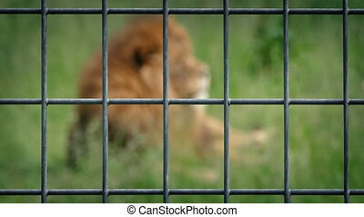 Lion Behind Wire Fence - Large male lion in enclosure