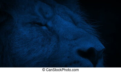 Lion Blinks At Night Closeup - Close-up shot of a lion...