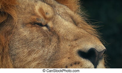 Lion Blinks Closeup Shot - Closeup shot of lion resting and...